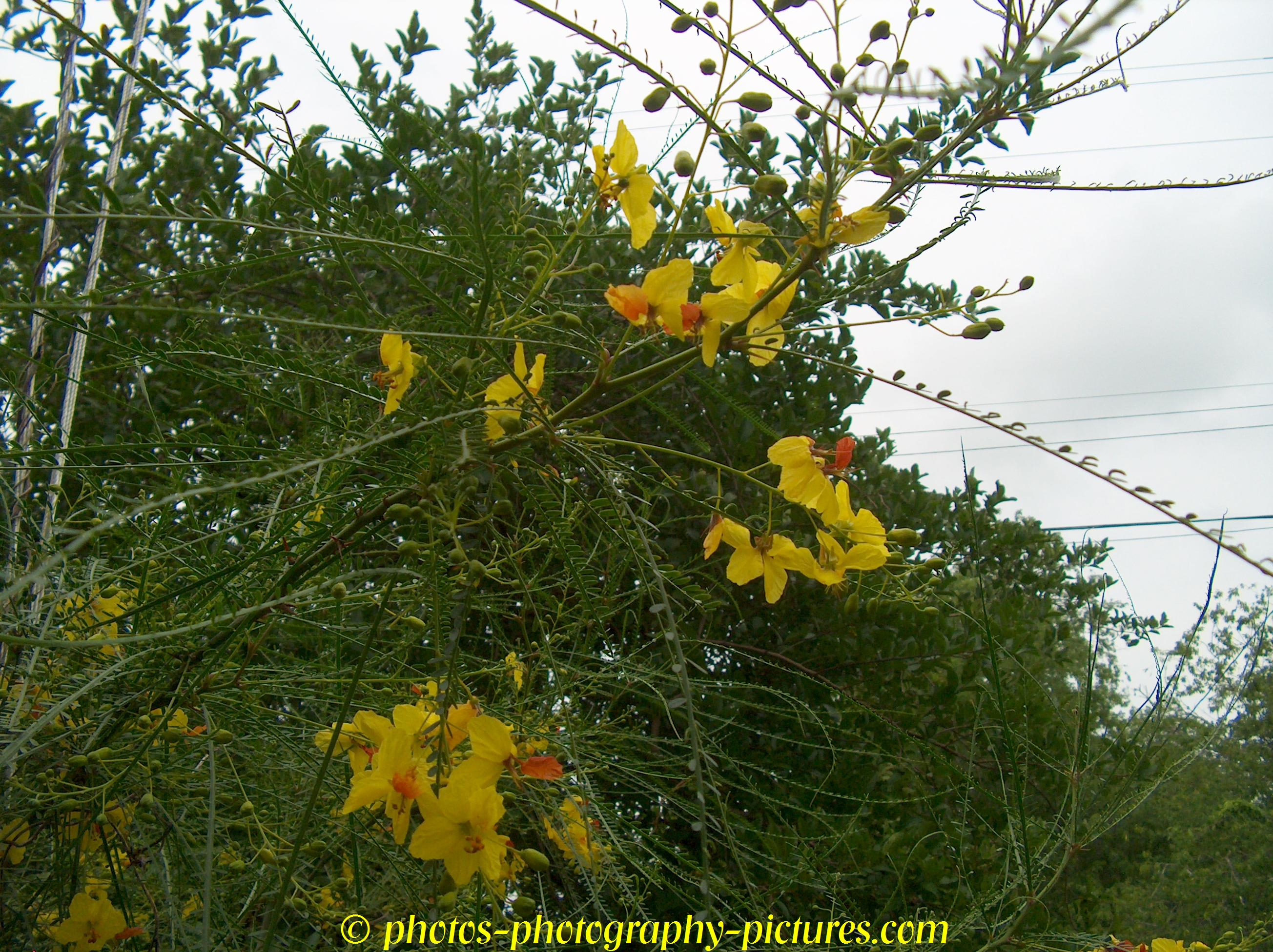 Kingsville South Texas Acacia Tree Huisache Flowers